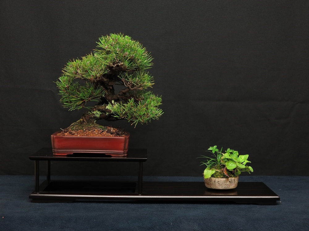 shohin bonsai pin thunberg corticosa