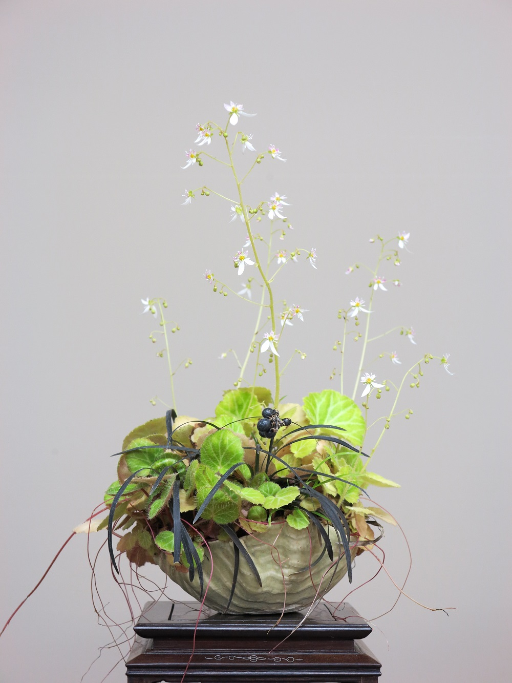 Saxifrages/ophiopogon et poterie Takahama's.